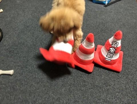 三角コーンのおもちゃで遊ぶきなこちゃん
